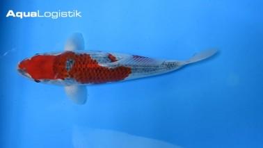 Aoki Goshiki 36 cm