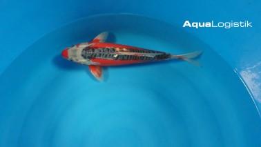 Oofuchi Hi Shusui 40-45 cm