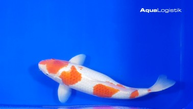 Sakai Kohaku 55-60 cm