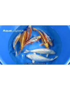 Marusai Mix 40-50cm