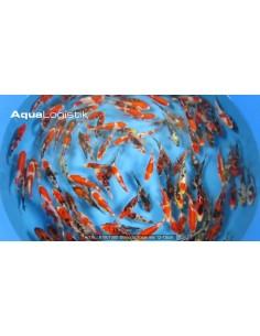 Yamazaki Tosai Mix 12-15 cm
